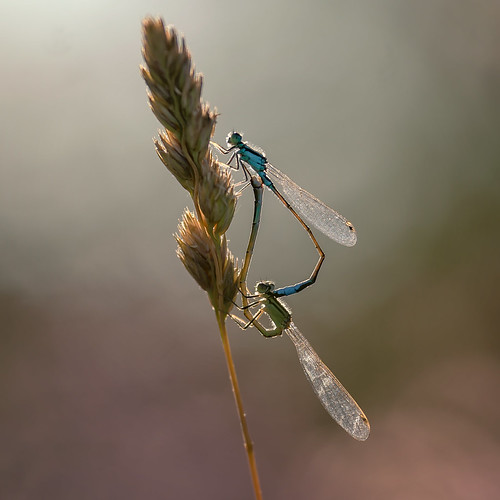 💕 Damsel love at sunset 💙 SONY ⍺7III & Sigma FE 1.8/135 Art