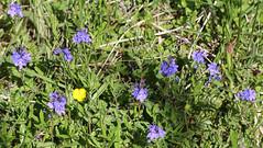 Véronique douteuse (Veronica austriaca subsp. dubia)