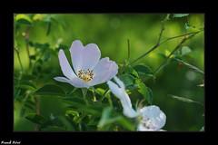 rose sauvage de l'églantier - Malans