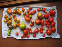 Tomatoes Ripening Indoors – Red Moon Sanctuary, Redmond, Western Australia