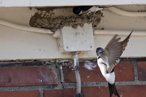 Huiszwaluwen-House Martin (Delichon urbicum)
