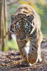 Young tigress walking