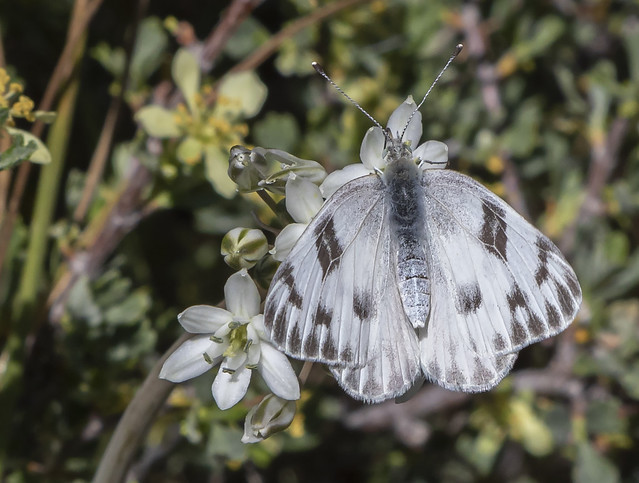 A Western White butterfly on a high ridge in the Sierra Nevada east of Yosemite National Park, California