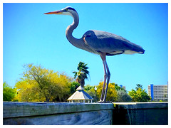 Florida Blue Heron