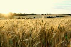 Atardecer en los campos de cereal de Grajera