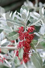 Lamiaceae - Lipbloemen
