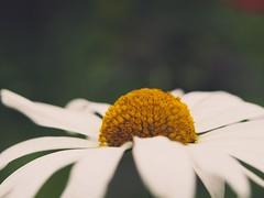 Flower Macro Bokeh | 16. Juni 2019 | Schleswig-Holstein - Deutschland