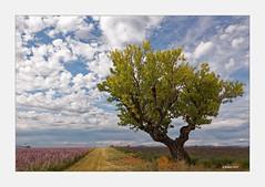 Provence...zwischen Lupinen und Lavendel