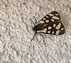 Cream-spot Tiger Moth - Photo of Villerville