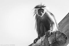 Colobus Monkey in Monochrome