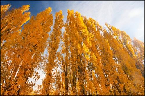 Poplar season