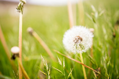 Puffy dandelion flower