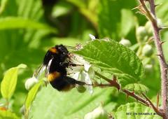 Bee in the sun.
