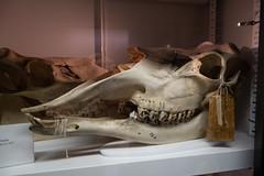 Ungulate skull