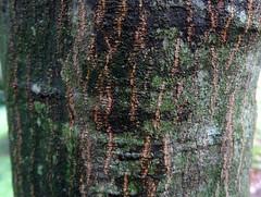 Lithocarpus litseifolius (Hance) Chun 1928 (FAGACEAE).