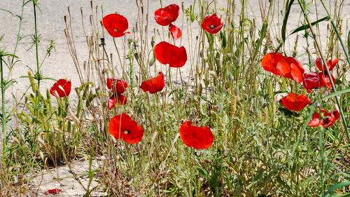 Mohn - Poppies