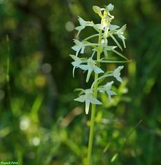 Platanthera chlorantha, la platanthère à fleurs verdâtres, - Côte aux Chèvres - Malans
