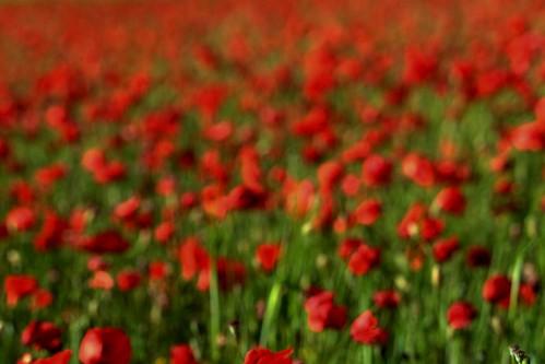 Poppyland ICM