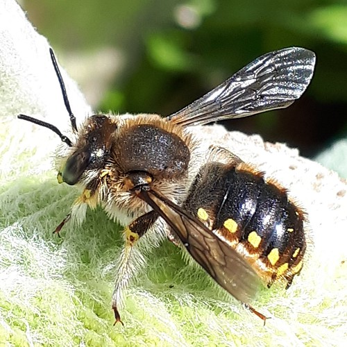 Wood Carder Bee