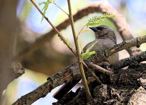 Carouge à ailes baies - Reserva Ecológica Costanera Sur/Buenos Aires/Argentina_20171031_002-1