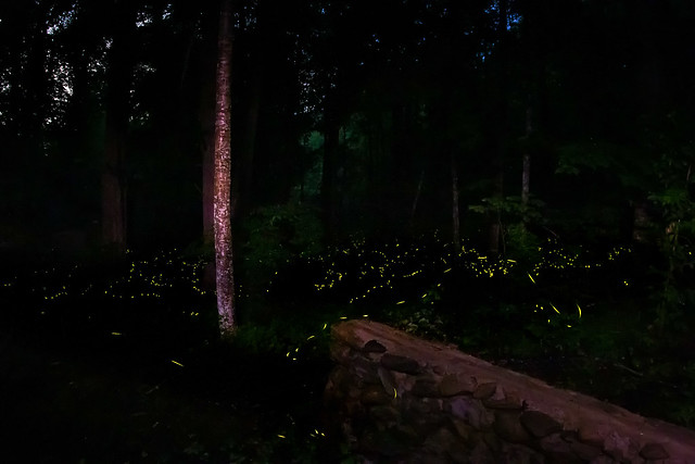 Synchronous Fireflies at Elkmont in the Smokys