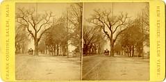 Big Tree, Boston St.