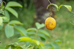 04-Dernier citron