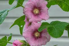03-Rose très mièvre