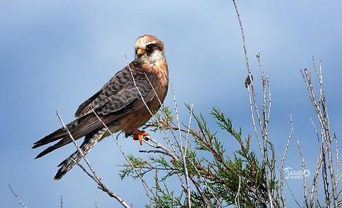 Lo sguardo fiero del falco - The proud glance of the hawk