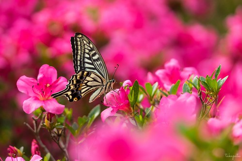 Asian swallowtail (Papilio xuthus)