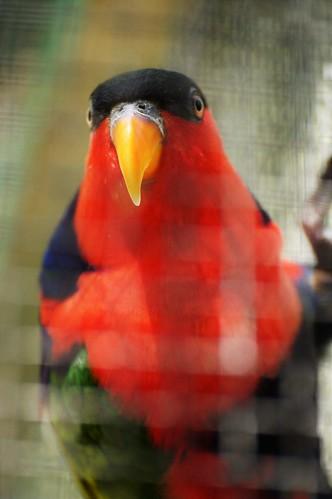 Lori tricolore (Lorius lory)