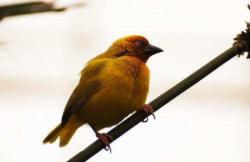 Tisserin jaune (Ploceus subaureus)