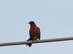 Robin Perched On A Utility Line.