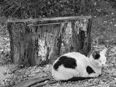 Cat In Black And White.