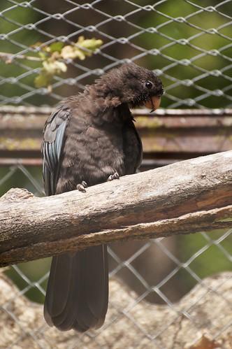 Perroquet noir (Coracopsis nigra)