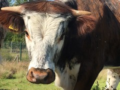 Gorgeous cow, Chase Water, Burntwood