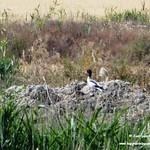 Aves en las lagunas de La Guardia (Toledo) 22-6-2019