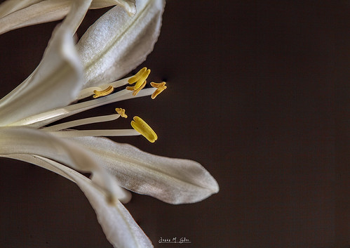 Agapanthus blanco