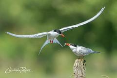 Sterne pierregarin - Sterna hirundo (Domaine Des Oiseaux, Ariège) 08 juin 2019