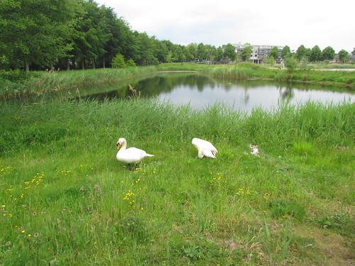 Duck Family Outside of Sportpark De Slotbosse Toren -- Oosterhout, The Netherlands, May 26, 2019