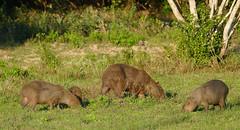 Capybaras (Hydrochoerus hydrochaeris) grazing in the evening ...