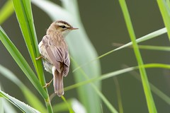 DSC_9317_DxO_pn - Phragmite des joncs - Acrocephalus schoenobaenus - Sedge Warbler - Photo of Mennecy