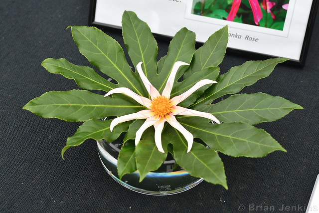 Dahlia Seedling
