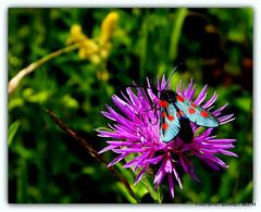 Five Spot Burnet day flying moth