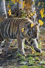 Autumnal young tigress
