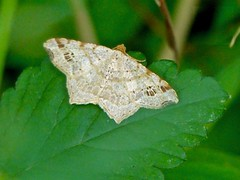 Common Angle Moth (Macaria aemulataria)