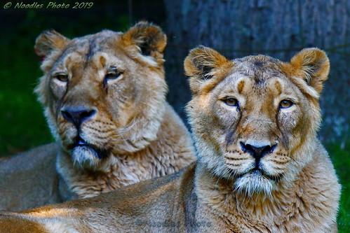 Asiatic Lioness - Asiatische Löwinen