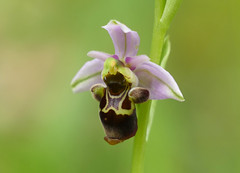 Woodcock Orchid (Ophrys Scolopax) - Photo of Baneuil