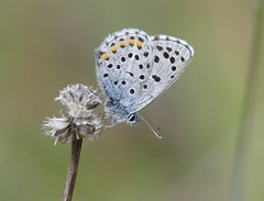 Baton Blue (Pseudophilotes baton) - Photo of Cause-de-Clérans