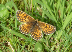 Knapweed Fritillary (Melitaea phoebe) - Photo of Baneuil